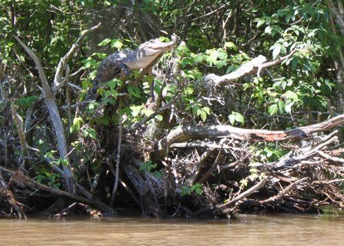 Rexford, rexford Dinosaur, Crocs, Crocodile, Alligator, Kristine Gingras, Dinosaur Toys